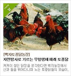 항생제 없는 자연방사로 건강한 토종닭을 사육하는 청송백자토종닭농장
